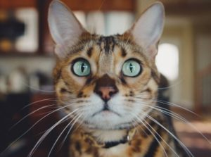 Cat staring at camera with green eyes and large ears.