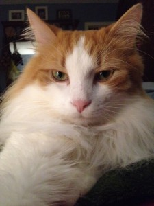 My orange and white Norwegian Forest Cat with a smirk on his face.