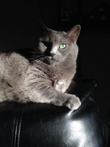 Gorgeous slate grey French Chartreux cat with green eyes