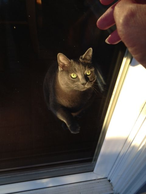 Grey Cat With Green Eyes Looking Out Window