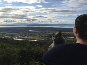 French Chartreux cat on mountainside in Alaska.