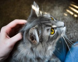 Grey cat with gold eyes being petted