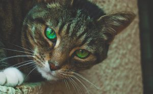 Tabby cat with gorgeous green eyes looking at the camera.