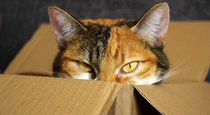 Calico Cat looking out of a cardboard box