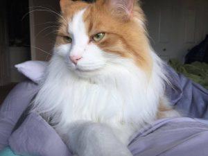 My Regal Norwegian Forest Cat