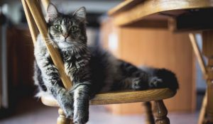 Gorgeous, fluffy grey cat on chair looking adorable