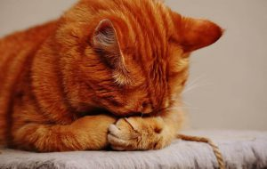 Cute Red Tabby Cat With Face In Paws