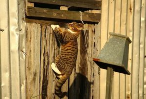 Brown striped tabby cat with white paws hanging off a fence while playing