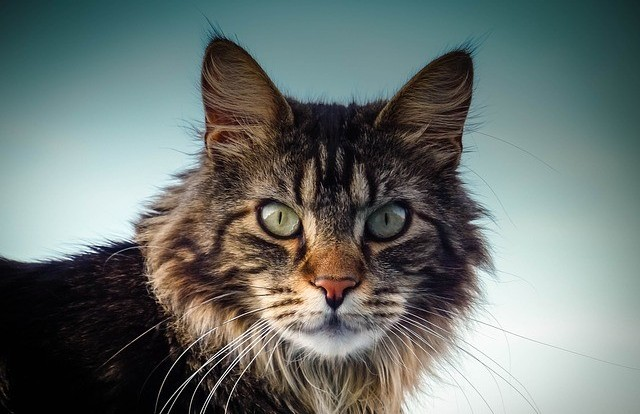 Brown Striped Maine Coon Cat Looking At Camera