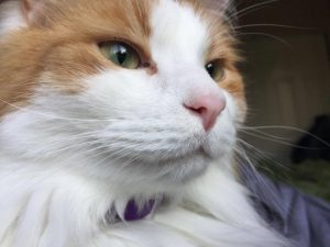 Norwegian Forest Cat with green eyes, white and orange fur and pink nose