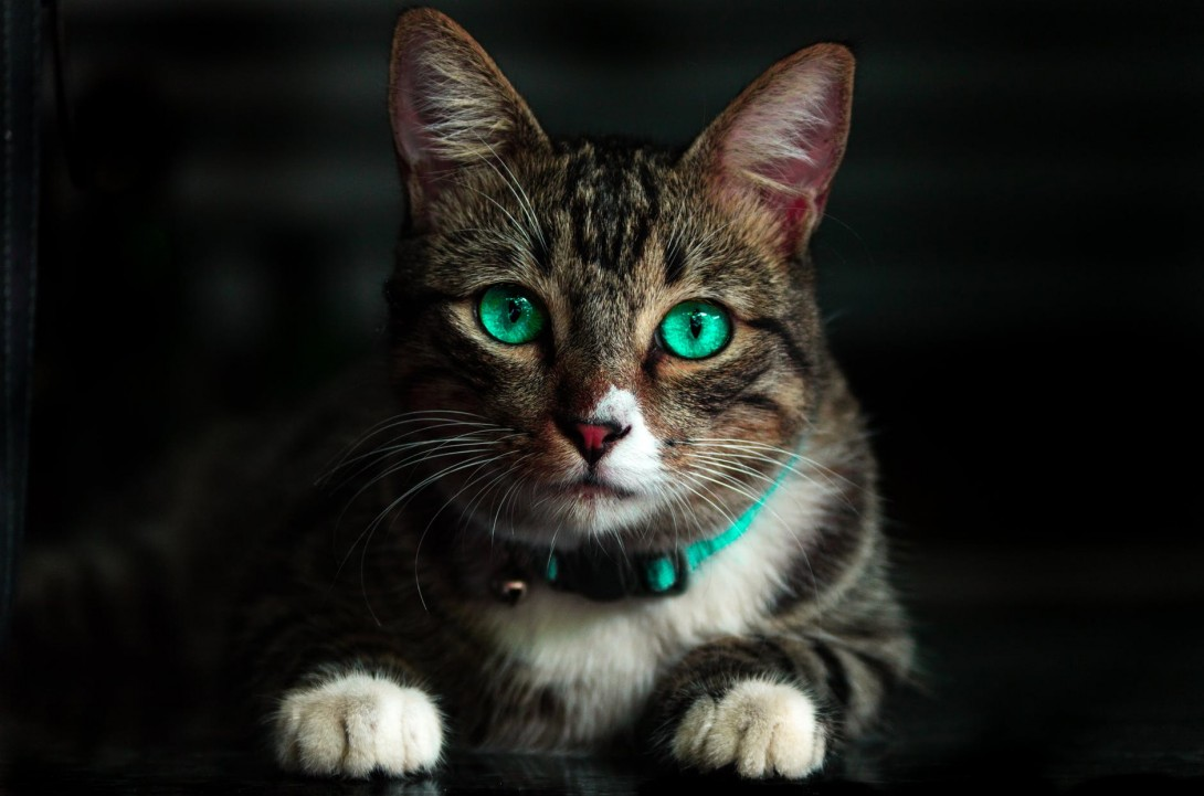 Gorgeous cat with aquamarine eyes.