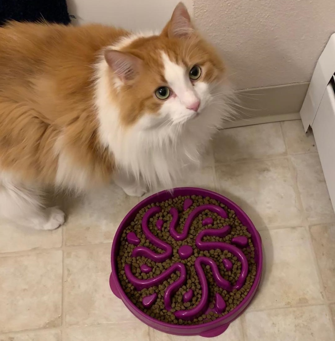 Long haired cat with cat puzzle feeder