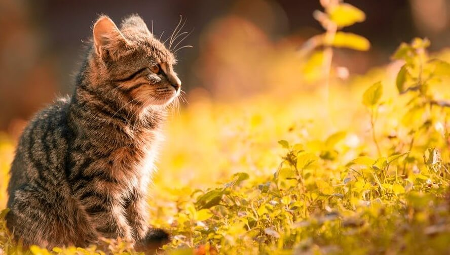 Striped Tabby Kitten in the Evening Sun