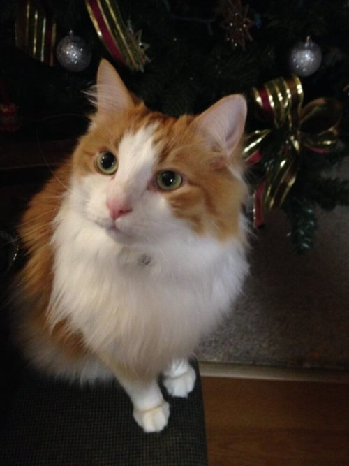 Long haired white and orange cat in front of christmas tree