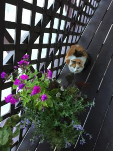 Tortoiseshell With White Cat On Deck With Flowers