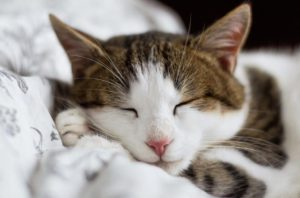 Pretty white and brown kitty sleeping.