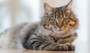 Long Haired Grey Tabby Cat with Green Eyes