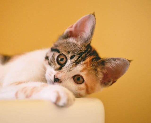 Cute calico kitten looking at the camera