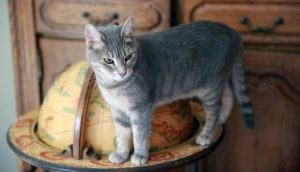 Grey Cat on Edge of World Globe