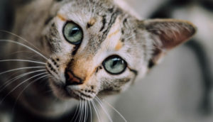 Pretty, green eyed cat looking at camera