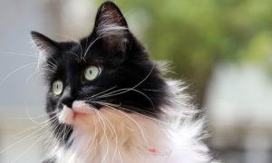 Pretty, little black and white cat