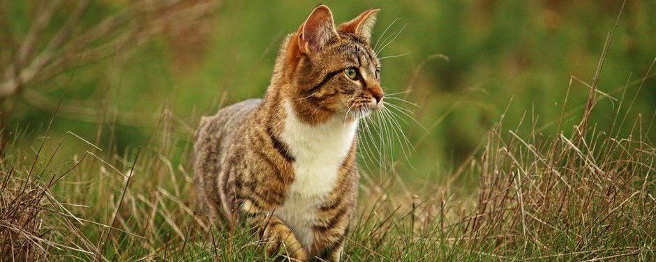 Brown striped tabby cat with white chest hunting in the grass.