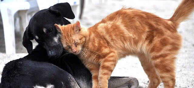 Orange tabby cat and black dog nuzzling together.