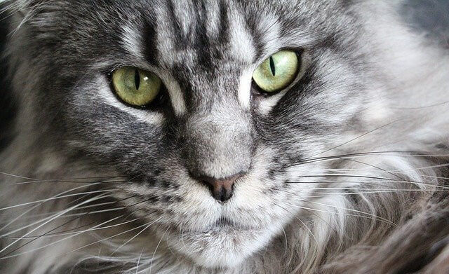 Stately Looking Maine Coon Cat Gazing Into the Camera